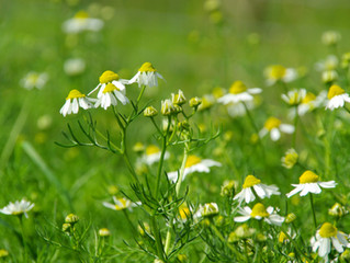 Chamomile May Help Women with PCOS
