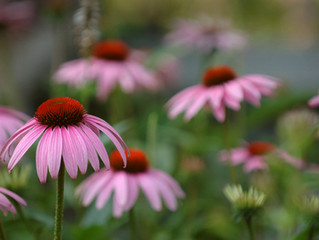 Echinacea is More Effective at Eliminating Oral Bacteria Than Chlorhexidine