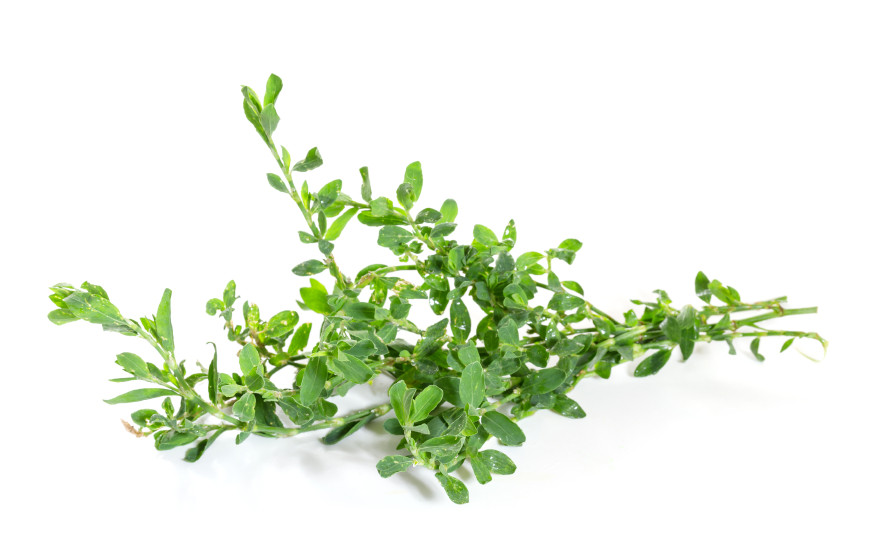 Knotgrass Uses