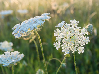 Elegant Lady: Queen Anne's Lace