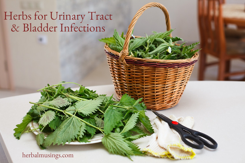 Herbs for UTI and Bladder