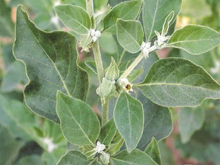 Herb May Reduce Worsening Schizophrenia Symptoms