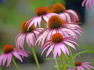 Echinacea for Inflammation