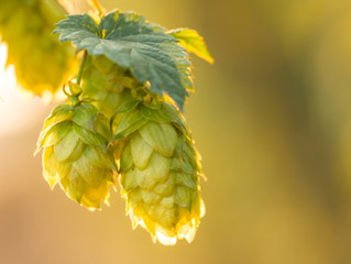 Hops Deters Non-alcoholic Fatty Liver Disease