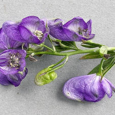 Aconite Compound May Relieve Neuropathy