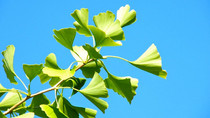 Ginkgo Biloba Seeds Fight Skin Infections