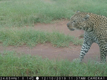 Leopard Attraction