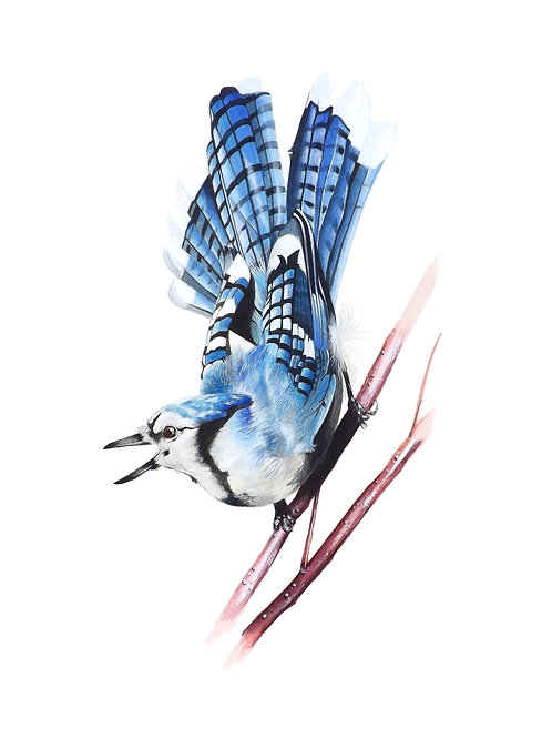 Giclee print of a Bluejay. Unframed.