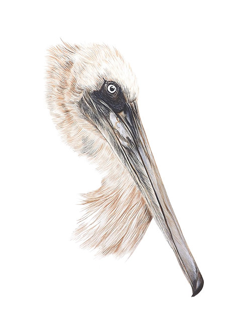 Giclee print of a Pelican. Unframed.