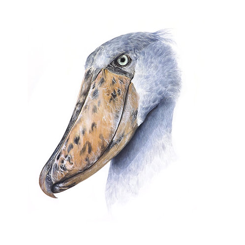 Limited edition giclee print of a Shoebill. Unframed.