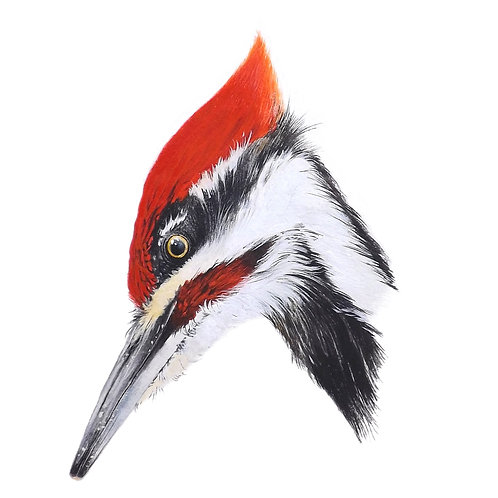 Giclee print of the Pileated woodpecker. Unframed.