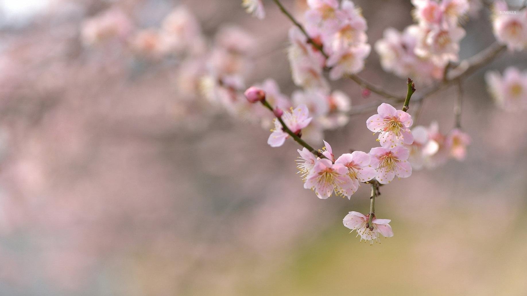 cherry-blossoms-35110-1920x1080.jpg