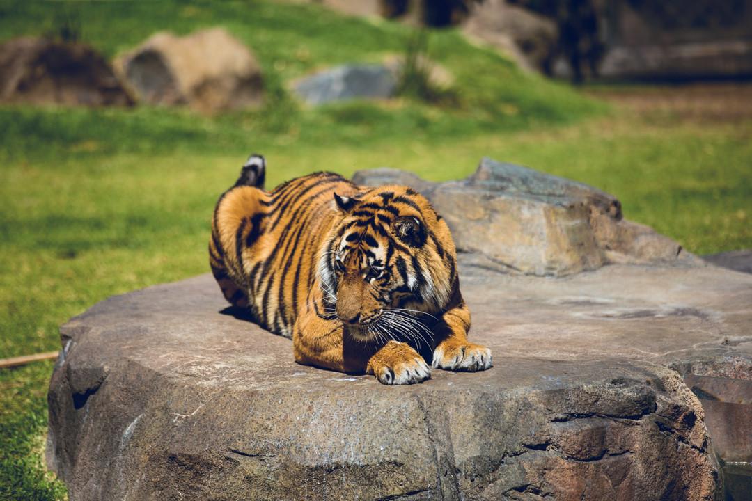 See tigers at Dreamworld