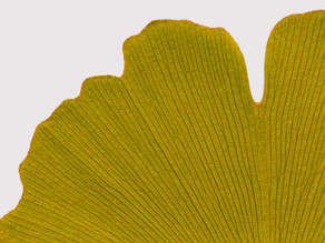 Goethe: Ginkgo biloba