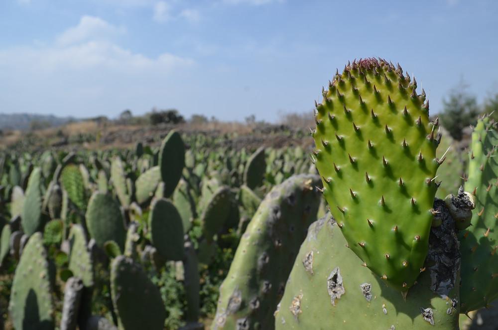 Actualmente, el cultivo del nopal es el actividad agrícola principal en Milpa Alta.