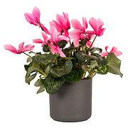 Cyclamen-Rose.jpg