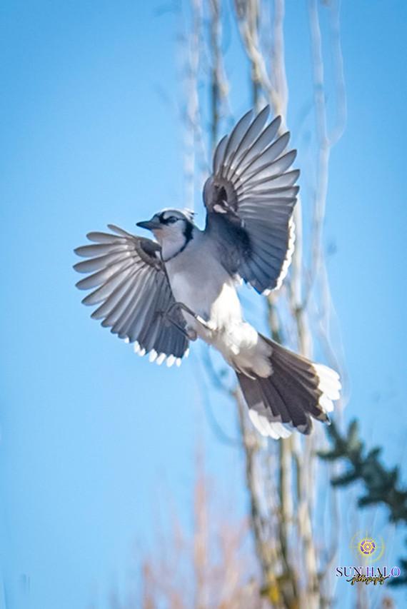 Blue Jays-8.jpg