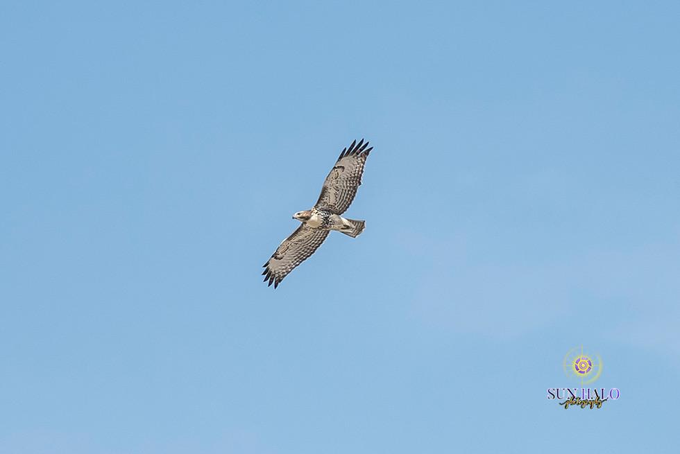 Swainson's Hawk-5.jpg