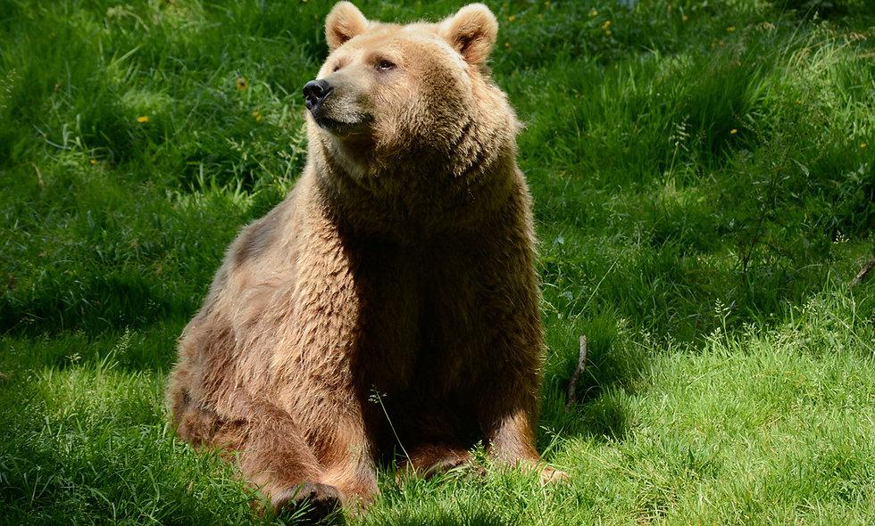 Bear Encounter for Two at Dartmoor Zoo