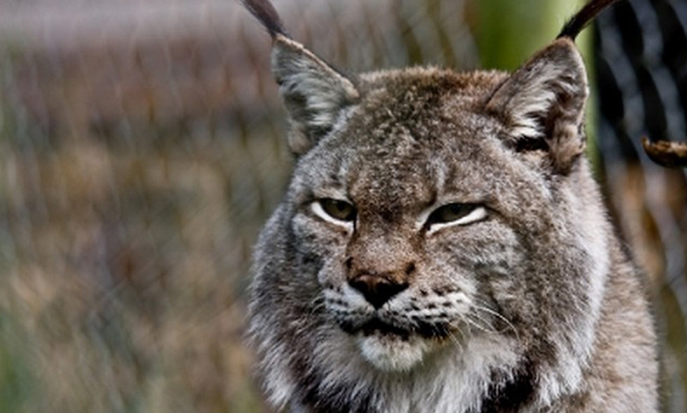 Become a Big Cat Keeper at Dartmoor Zoo for Two