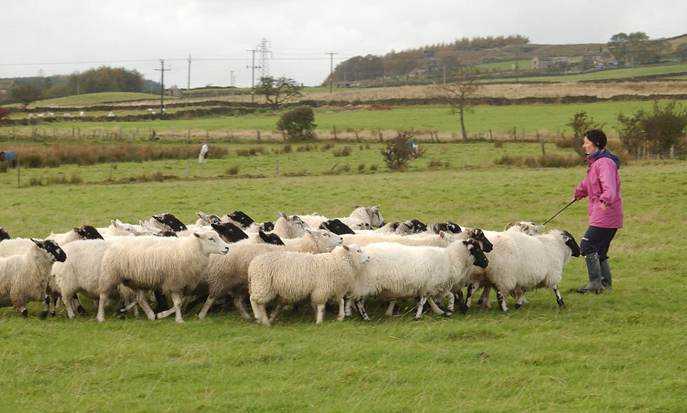 Sheepdog Training Day