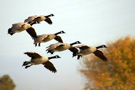 Canada Goose Numbers Jump 31%