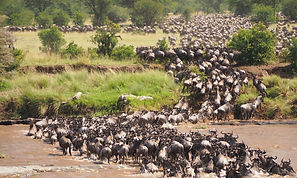 Great%20wildebeest%20migration%20crossing%20Mara%20river%20at%20Serengeti%20National%20Park%20-%20Ta