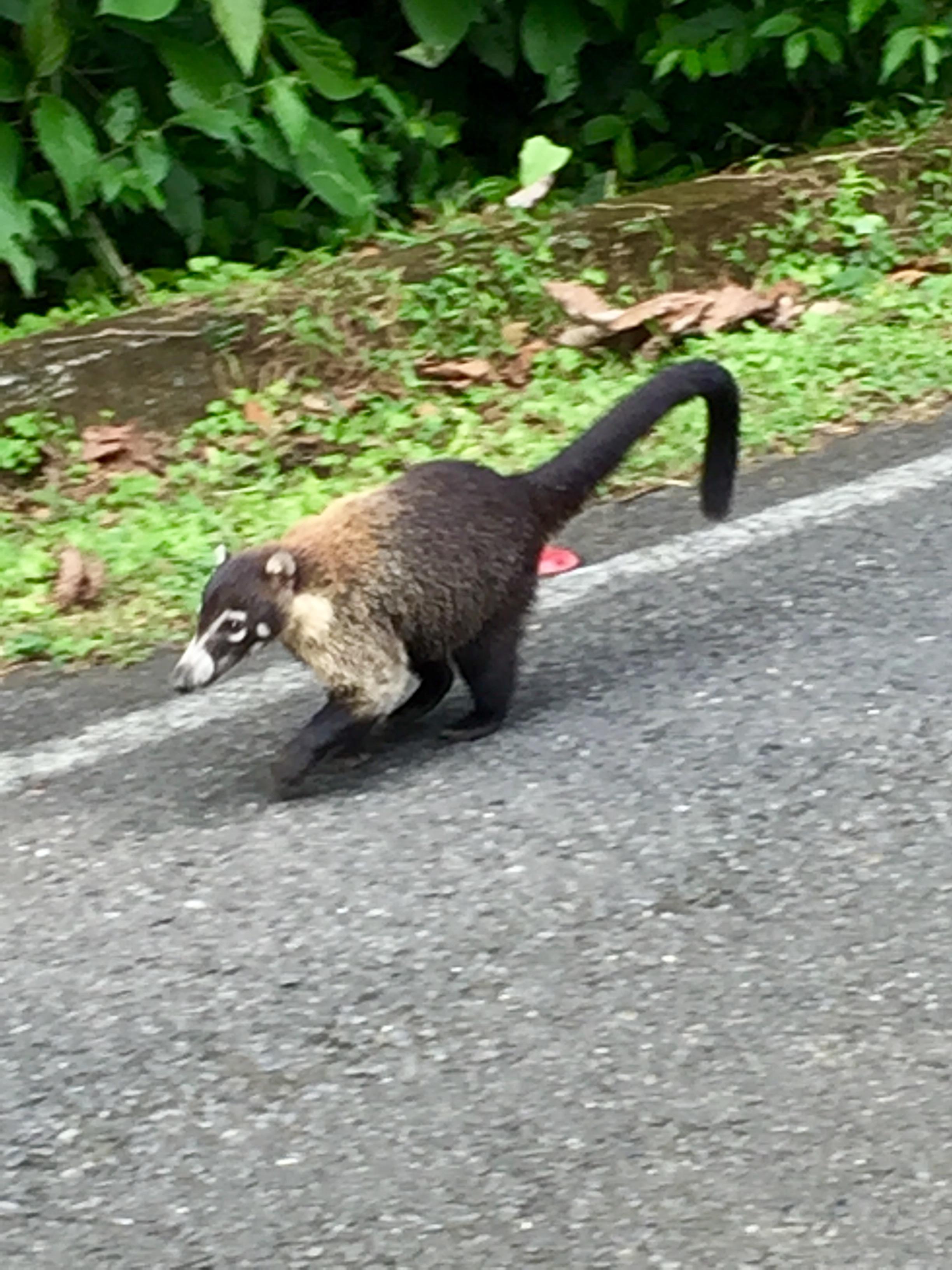 Roadside Coatis