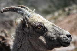 Mountain goat side profile