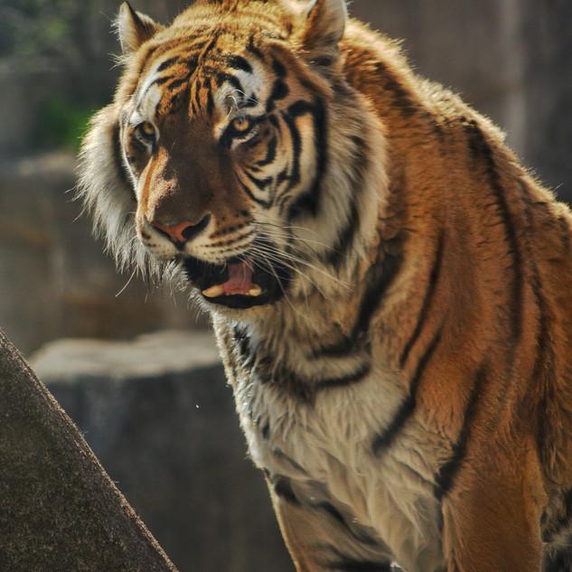 Tight Like a Tiger