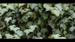 HD Photorealistic Ivy