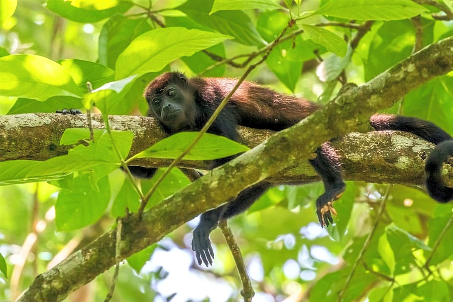 The Trail of the Howler Monkeys