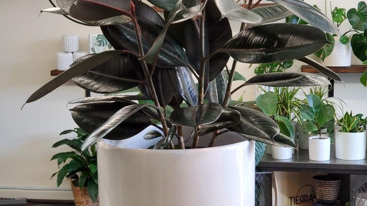 Rubber Plant with Large White Planter