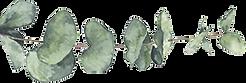 eucalyptus-branche.png