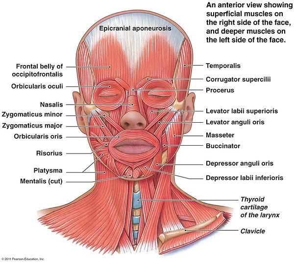 supfacialmus.jpg