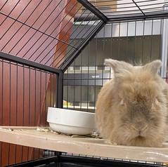 King Feed Rabbit
