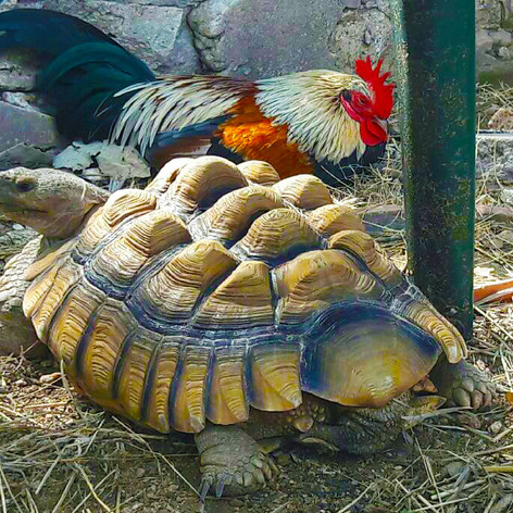 King Feed Garden Chicken & Turtle
