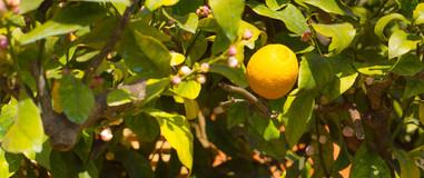 Il limoni sempre del nostro orto