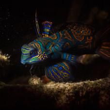 Mandarin-fish-underwater-photography-Matt-McGee.jpg