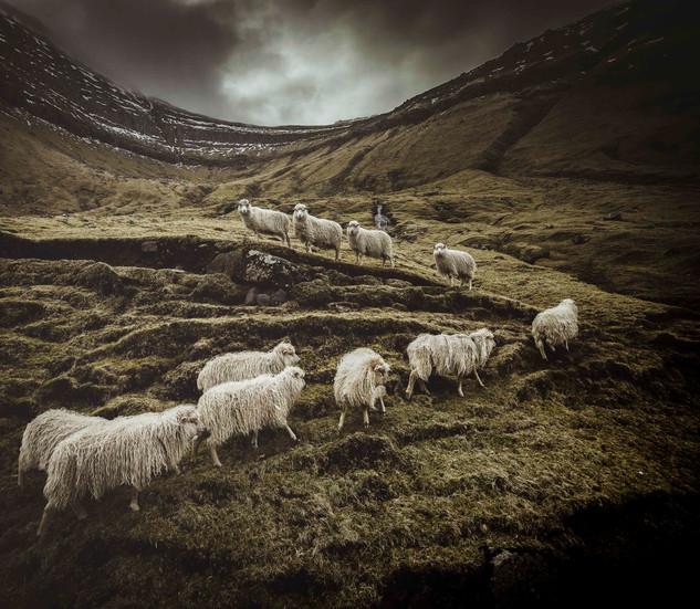 Sheep in the Faroe Islands