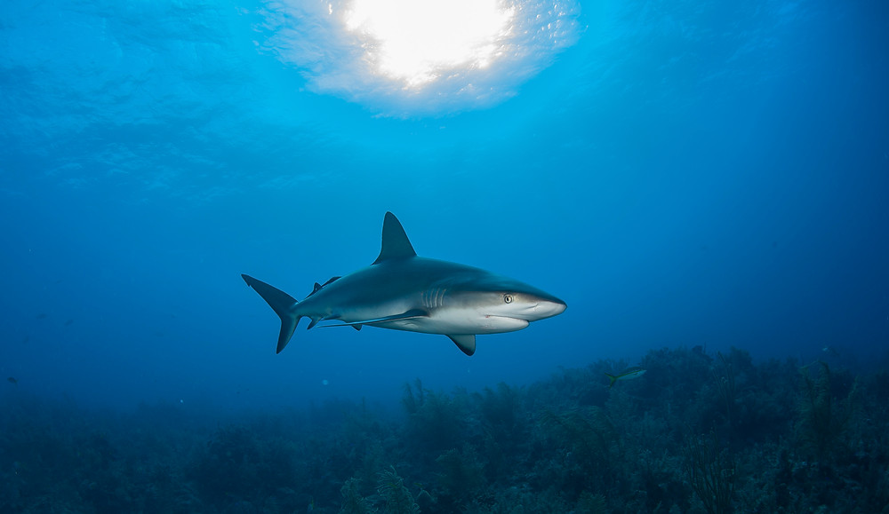Matt McGee underwater photographer Caribbean reef shark