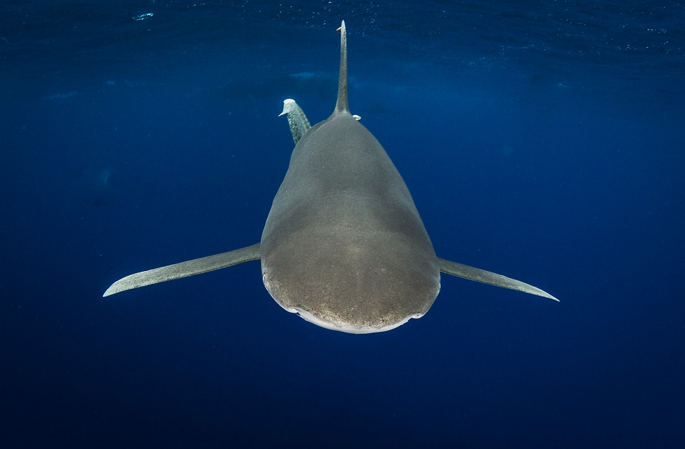 underwater photographer Matt McGee photographs oceanic white tip sharks