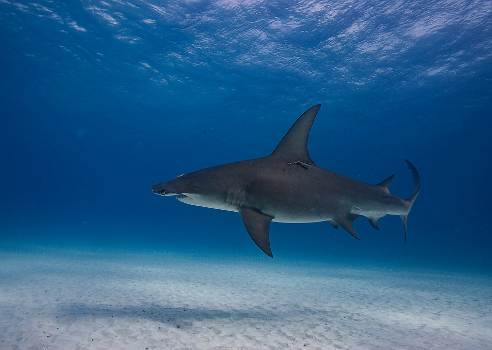 a great hammerhead shark photographed by Matt McGee underwater photographer