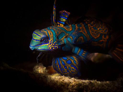Tips For Photographing Mandarin Fish