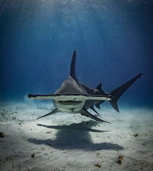 Grat hammerhead shark photographed by Matt McGee
