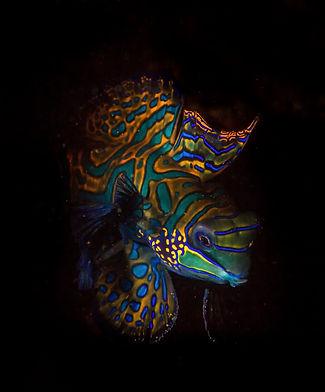 Photo of a Mandarin fish taken by Matt McGee