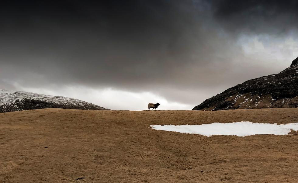 A lone sheep in the Faroe Islands