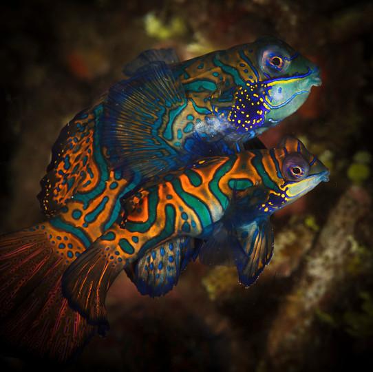 Mandarin Fish Pair