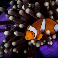 underwater-photography-by-Matt-McGee-anemone-clown-fish.jpg