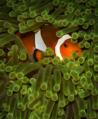 Clown fish in its anemone